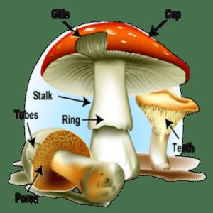 mushroom parts
